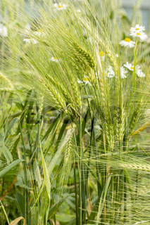 Green rye ears. Seeds of an agricultural cereal plant rye Secale cerealele bluegrass, rye spike in nature, grain awn stem leaf