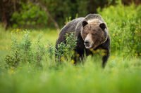 Dominant brown bear male standing on a green meadow with bushes with open mouth.