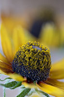 Yellow Rudbeckia sp, garden flower in the sunflower family