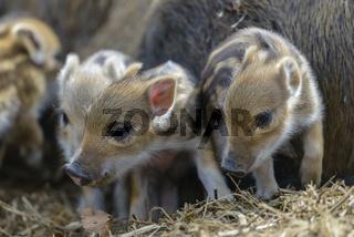 Wildschwein, Sus scrofa, wild boar