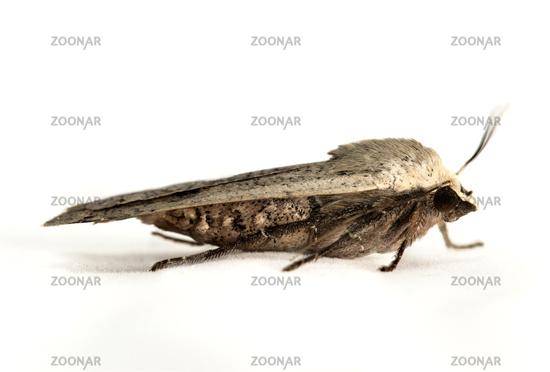 Large Yellow Underwing Moth (Noctua pronuba), Switzerland