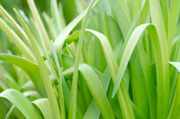 Green beautiful stems. Natural background. Spring seedlings of a plant.