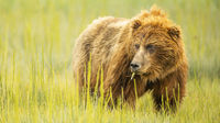 Large Female Grizzly Bear pauses while Chewing her last bite of Grass