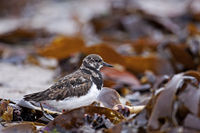 Ruddy Turnstone forage for food on the beach