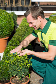 Gardener at nursery pruning or cutting boxtrees with scissors