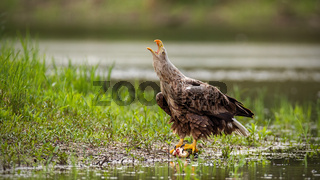 Majestic white-tailed eagle adult bird calling with beak open on a riverbank.