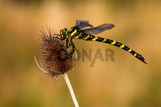 Golden ringed dragonfly sitting still on a dry thistle in summer