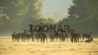 Red deer stags standing and fighting with legs on a meadow in the morning.