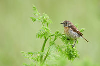 European stonechat (female) at Lake Neusiedl