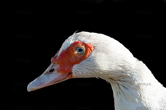 Portrait of a white duck in profile on a black background