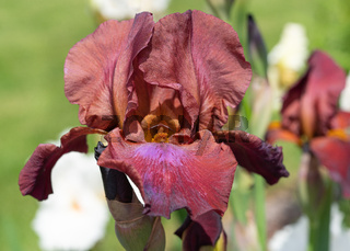 German iris, Iris barbata