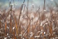 orange reeds blowing in the wind.