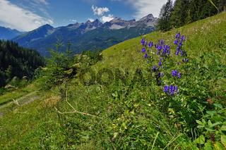 Blauer Eisenhut, Aconitum napellus, Lechtal, Österreich, Tirol