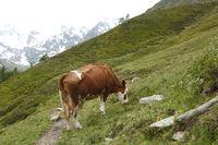 Braunvieh weidet auf einer Alm, Tirol, Tyrol