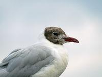 Portrait of a black-headed gull,  Chroicocephalus ridibundus