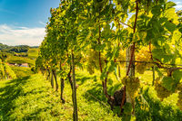 White grapes hanging from lush green vine, vineyard background.