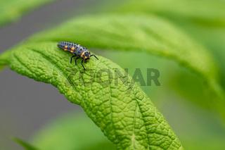 Caterpillar of Ladybug