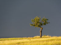 lonesome tree in stormy weather