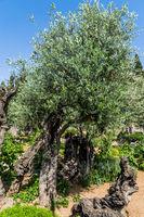 In Gethsemane grow ancient olives