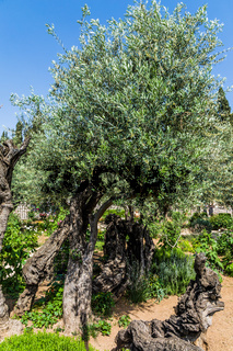 In Gethsemane grow ancient olives