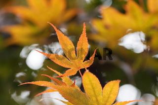 gelb-orangefarbenes Blatt eines japanischen Ahorns