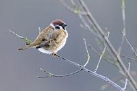 Eurasian Tree Sparrow near the city of Beringstadt / Passer montanus