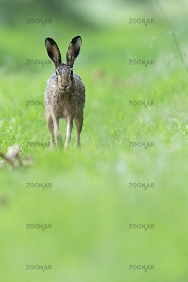 A male European hare, also called a buck, follows the odour trail of a female