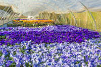 Greenhouse in Holland with  colorful blooming violets