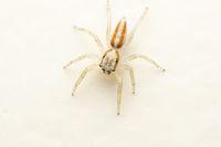 Dorsal of Subadult Male Jmping spider, Epocilla calcarata, Pune, mharashtra, India