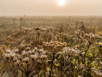 Autumn field with dried hogweed stems entangled in cobwebs with dew drops