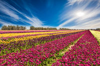 Wonderful flowering garden buttercups
