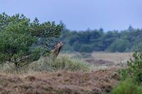A roaring Red Deer stag in a heathland / Cervus elaphus