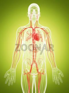 3d rendered illustration of the vascular system