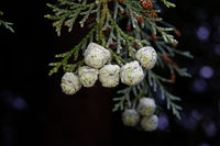 Chamaecyparis lawsoniana, close up of the pea-sized Cones from a Lawson cypress
