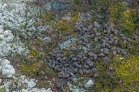 Moose scat - Moose droppings / Alces alces