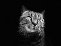 Gray cat with a stern, threatening look on black isolated background