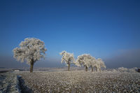White frost on trees in a row of trees