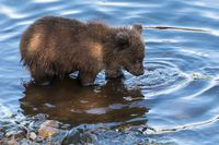 Hungry Kamchatka brown bear cubs fishing in river, looking in water in search red salmon fish