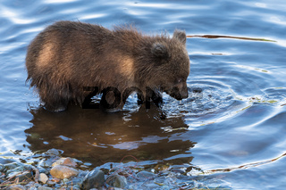 Hungry Kamchatka brown bear cubs fishing in river, looking in water in search red salmon fish during spawning