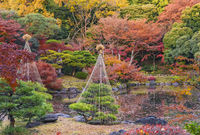 Tokyo Metropolitan Park KyuFurukawa's japanese garden's pine trees protected by a winter umbrella wi