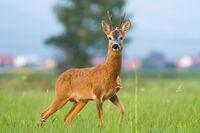 Roe deer looking on meadow behind the village in summer
