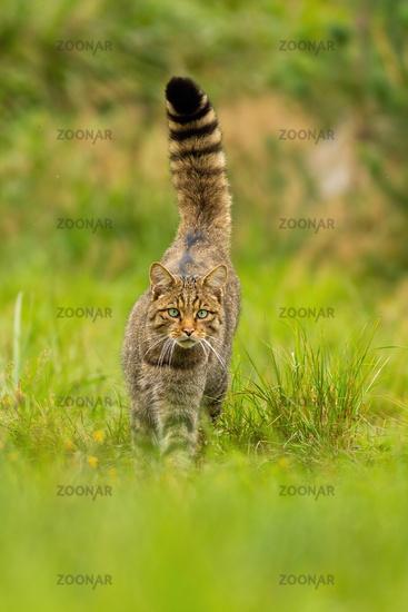 Front view of a curious european wildcat walking forward summer