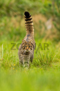 Front view of a curious european wildcat walking forward summer