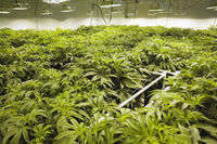 Cannabis leaves and stems are grown hydroponically in garden. Beds of hemp, marijuana in a legal garden.