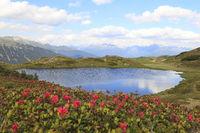 Almrosenblüte bei einem Bergsee, Tirol, Tyrol