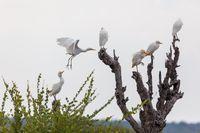 cattle egret namibia Africa safari wildlife