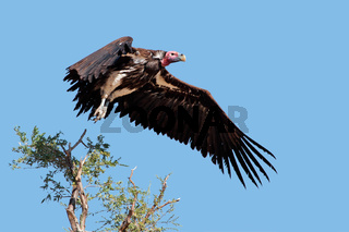 Lappet-faced vulture in flight
