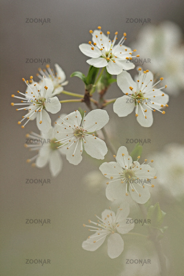 Black haw (Prunus spinosa)