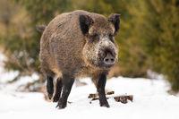 Wild boar walking on snowy field in wintertime nature