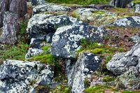 Beautiful lichen on a granite stone. Karelia, Russia